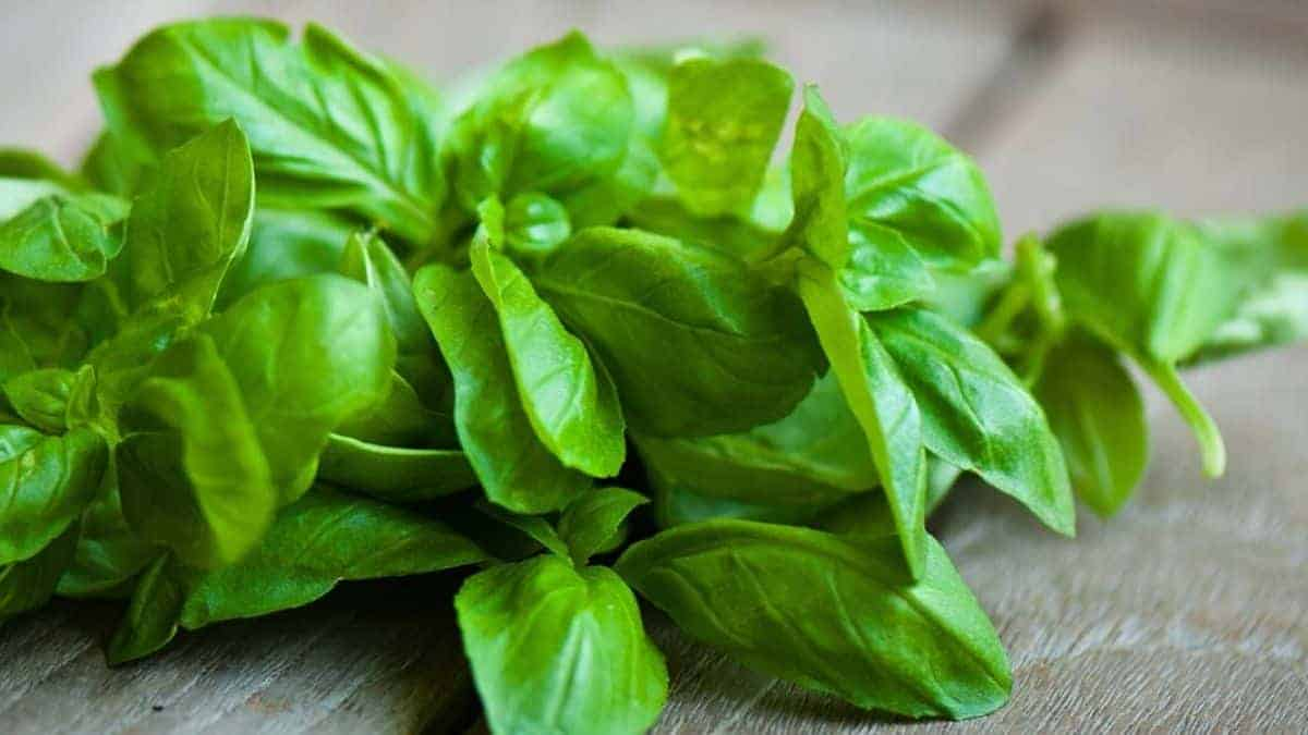 What is Basil Herb?